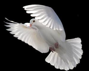 White_Dove_Flying